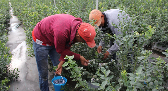 Mexico Cranberry Production Will Bring Great Benefits Blueberries Consulting